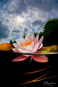 Waterlily in the sun, Turnhout, Belgium. by Filip Staes