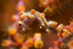 Hippocampus Bargibanti, Lembeh strait, Sulawesi. by Filip Staes