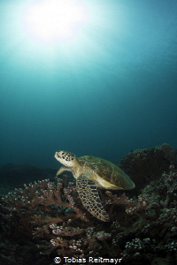 Green turtle at Siapa Besar, Komodo NP by Tobias Reitmayr