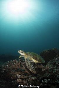 Green turtle at Siapa Besar, Komodo NP by Tobias Reitmayr