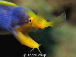 """""""The nose comes at first"""" ;-) - The Ghost moray eel or Bl... by Andre Philip"""