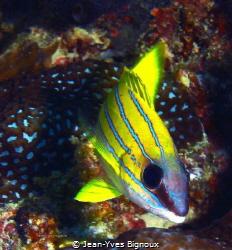 Yellow stripped Cardinal Fish.Jean-Yves Bignoux Grand Ba... by Jean-Yves Bignoux