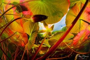 Underneath the waterlilies, Turnhout, Belgium. by Filip Staes