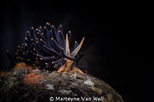 An unusual nudi on the move by Marteyne Van Well