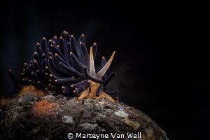 An unusual nudi on the move by Marteyne Van Well