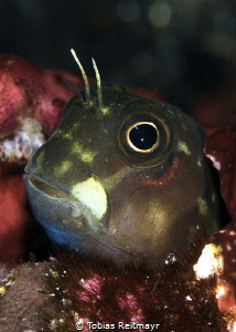 Blenny at Batu Bolong, Komodo NP by Tobias Reitmayr
