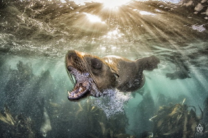 """""""Bark"""" Young seals, rather like puppies, test the limits... by Allen Walker"""