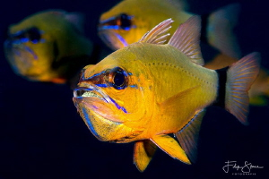 Cardinalfish, Puerto Galera, The Philippines. by Filip Staes