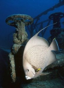 Herbie the angelfish on the wreck of the Prince Albert by george perina