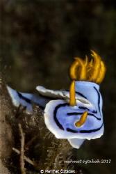 Nudibranch Chromodoris Lochi Romblon İsland / Philippin... by Mehmet Öztabak