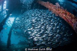 Silverside shoal. Nikon D7200, Tokina 10-17 at  10 mm. by Mehmet Salih Bilal