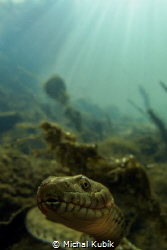 Dice snake (Natrix tessellata) by Michal Kubík
