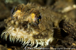 Northern Spearnose Poacher! 100mm Macro +5 Diopter I love... by Marc Damant