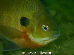 A Bluegill sunfish models for a portrait in a local Quarr... by David Gilchrist