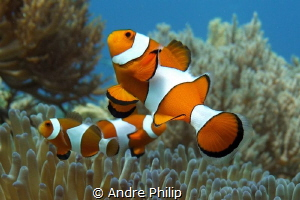 """""""In family"""" - Amphiprion ocellaris by Andre Philip"""