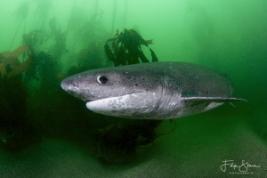 Sevengill shark, False bay, South Africa by Filip Staes