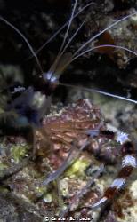 Crab by Carsten Schroeder