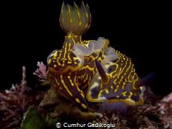Hypselodoris picta Feeding time by Cumhur Gedikoglu