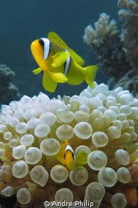 """Cute Rambo!"" ;-) - Egyptian Nemo (Amphiprion Bicinctus) ... by Andre Philip"