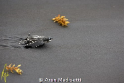 Leatherback hatchling at the start of the long voyage by Arun Madisetti