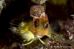 Parablennius pilicornis with parassite by Raffaele Livornese
