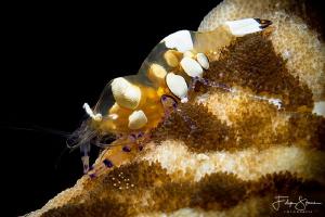 Anemone shrimp (Periclemenes brevicarpalis) Raja Ampat. by Filip Staes