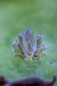 Costasiella kuroshimae (no crop) by Wayne Jones