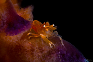 Sea pen shrimp by Kelvin H.y. Tan