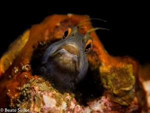 Blenny at the bridge span by Beate Seiler