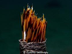 Bispira volutacornis SPAGHETTI CASE.Long time ago I foun... by Cumhur Gedikoglu