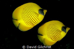 A pair of  Masked Butterflyfish in the Red Sea,Egypt by David Gilchrist