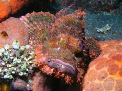 """""""Who Me!"""" Just set myself up to shoot this Scorpion Fish ... by Damien Preston"""