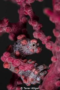 Beautiful Pigmy - No crop by Taner Atilgan