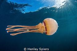 Jellyfish Bodyguard by Henley Spiers