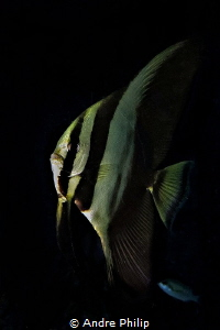 In the darkness - A young batfish by Andre Philip