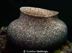 Produced by Bispira volutacornis MASTERPIECE by Cumhur Gedikoglu