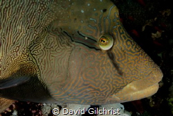 """I've got my eye on you"" An inquisitive Napolean Wrasse o... by David Gilchrist"