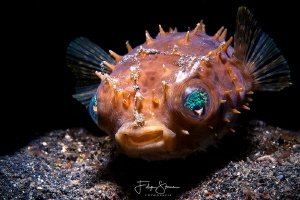 """ Sweety"", Juvenile porcupinefish, Lembeh strait. by Filip Staes"