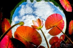 Water lilies Snells window Belgium. Belgium