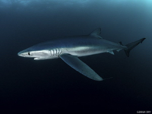 Blue shark off Cape Point, South Africa by Gemma Dry