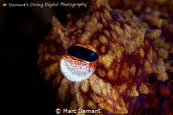 Snooted eye of a Ruby Red Octopus! 100mm Macro Canon T2I ... by Marc Damant
