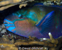 A bulletheaded Parrotfish makes itself comfortable at nig... by David Gilchrist