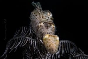 Small Cuttlefish with Crinoid by Wayne Jones