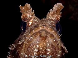 Scorpaena porcus FISH PORTRAIT by Cumhur Gedikoglu