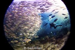 Jacks - This was taken in Sipadan in the Celebes Sea. It ... by Neil Giles