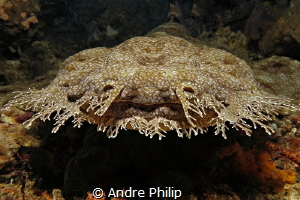 """A face for smooching?!"" ;-) - A Wobbegong shark (Eucross... by Andre Philip"