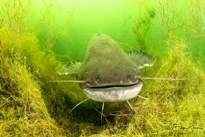 Wels catfish (Silurus glanis), Toolenburgse plas, The Net... by Filip Staes