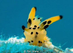 INTO THE BLUE PICACHU ( Thecacera sp.} by Ton Ghela