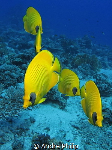 In a row... Bluecheek butterflyfish by Andre Philip