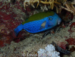 A Blue Tailed Trunkfish(Ostracion cyanurus) photographed ... by David Gilchrist